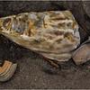 Avalon NJ August 2015 Tideline Shells 23