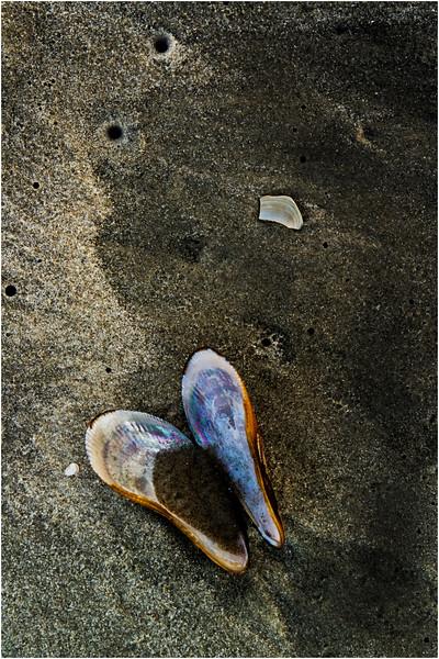 Avalon NJ August 2015 Tideline Shells 92