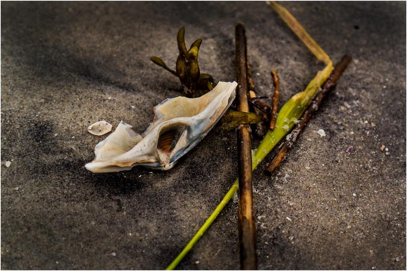 Avalon NJ August 2015 Tideline Shells 36