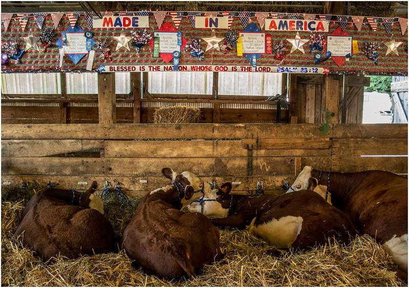 Schaghticoke Fair Cow 15 September 2016