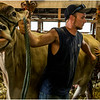 Schaghticoke Fair Cow 14 September 2016