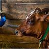 Schaghticoke Fair Cow 10 September 2016