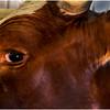 Schaghticoke Fair Cow 3 September 2016