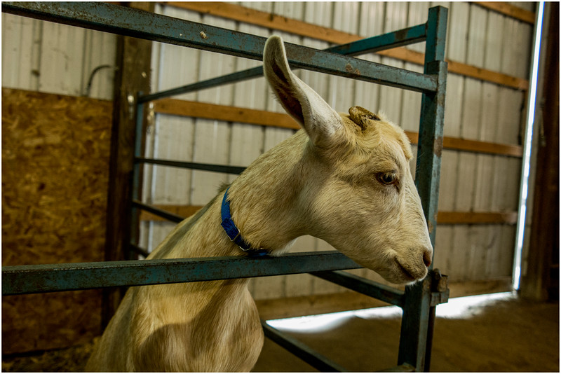 Schaghticoke Fair Goat 4 September 2016