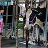 Schaghticoke Fair Cow 13 September 2016
