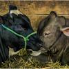 Schaghticoke Fair Cow 8 September 2016