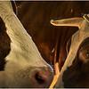 Schaghticoke Fair Cow 2 September 2016