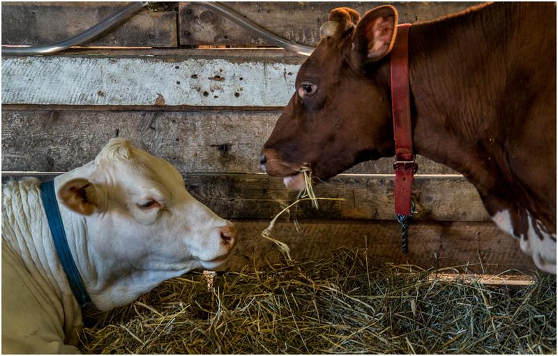 Schaghticoke Fair Cow 5 September 2016