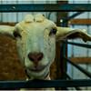 Schaghticoke Fair Goat 3 September 2016
