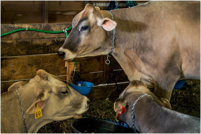 Schaghticoke Fair Cow 9 September 2016