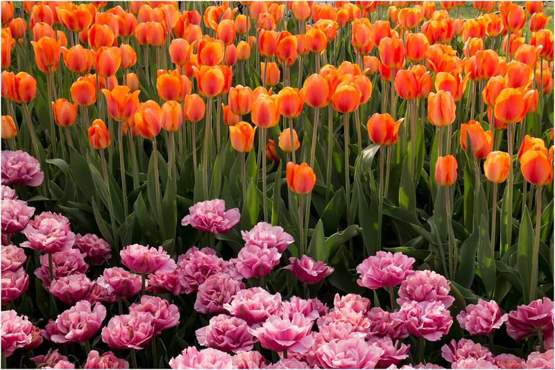 Albany NY Tulip Fest May 2015 Tulips 6