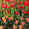 Albany NY Tulip Fest May 2015 Tulips 2