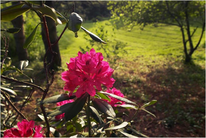 Delmar NY Rhododendron May 2012