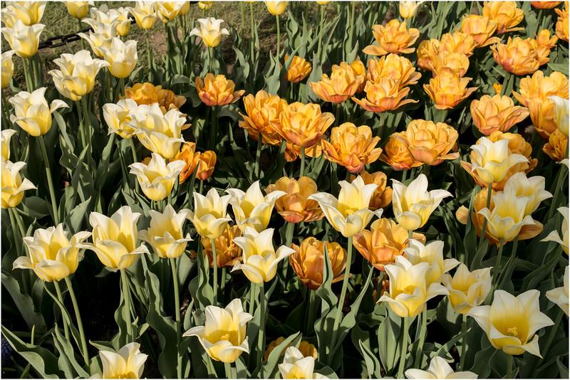 Albany NY Tulip Fest May 2015 Tulips 4