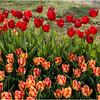 Albany NY Tulip Fest May 2015 Tulips 1