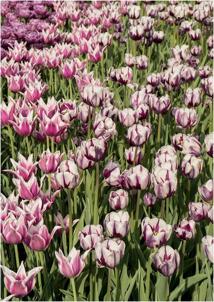 Albany NY Tulip Fest May 2015 Tulips 5