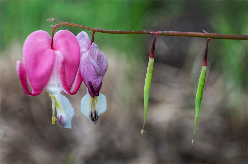 Delmar NY Backyard Flowers 32 May 2018