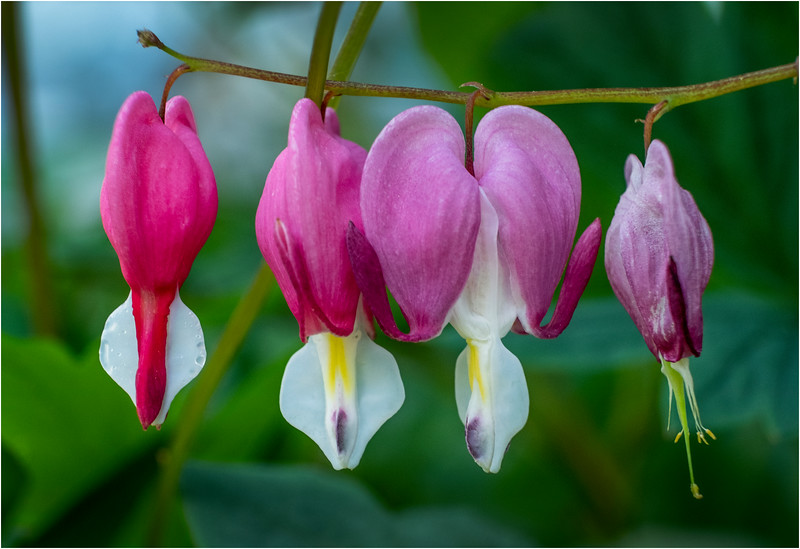Delmar NY Bleeding Hearts 106 June 2018