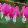Delmar NY Backyard Bleeding Hearts 6 May 2019