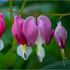 Delmar NY Bleeding Hearts 114 June 2018