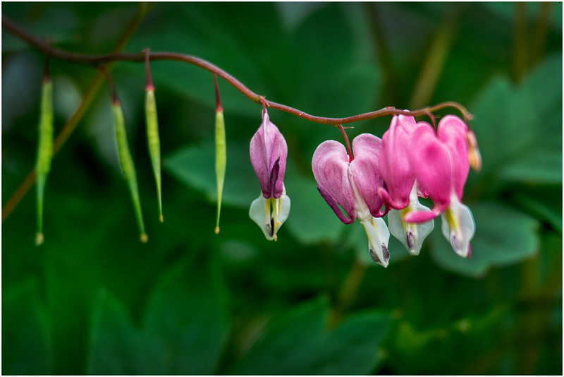 Delmar NY Backyard Bleeding Hearts 8 May 2016