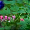 Delmar NY Backyard Bleeding Hearts 10 May 2016