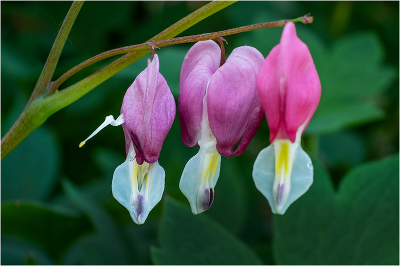 Delmar NY Bleeding Hearts 104 June 2018