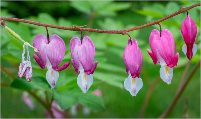 NY Delmar Bleeding Hearts 3 May 2019