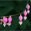 Delmar NY Backyard Bleeding Hearts 1 May 2016