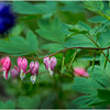 Delmar NY Backyard Bleeding Hearts 10 May 2016