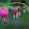 NY Delmar Bleeding Hearts 1 May 2019