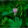 Delmar NY Backyard Bleeding Hearts 9 May 2016