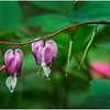 Delmar NY Backyard Bleeding Hearts 11 May 2016