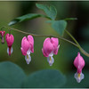 Delmar NY Backyard Bleeding Hearts 2 May 2016