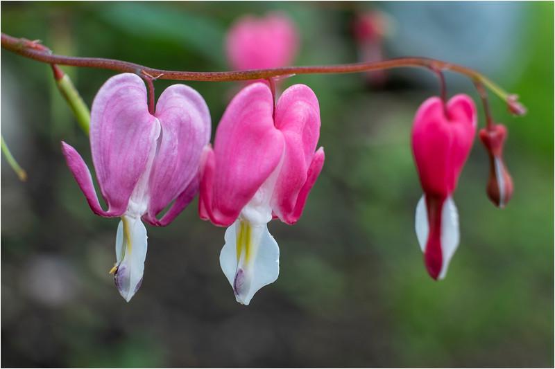 Delmar NY Backyard Flowers 15 May 2018