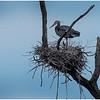 Ballston Lake NY Ballston Creek Nesting Herons 10 May 2018