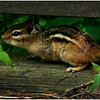 Delmar NY Backyard Chipmunk 1 May 2016