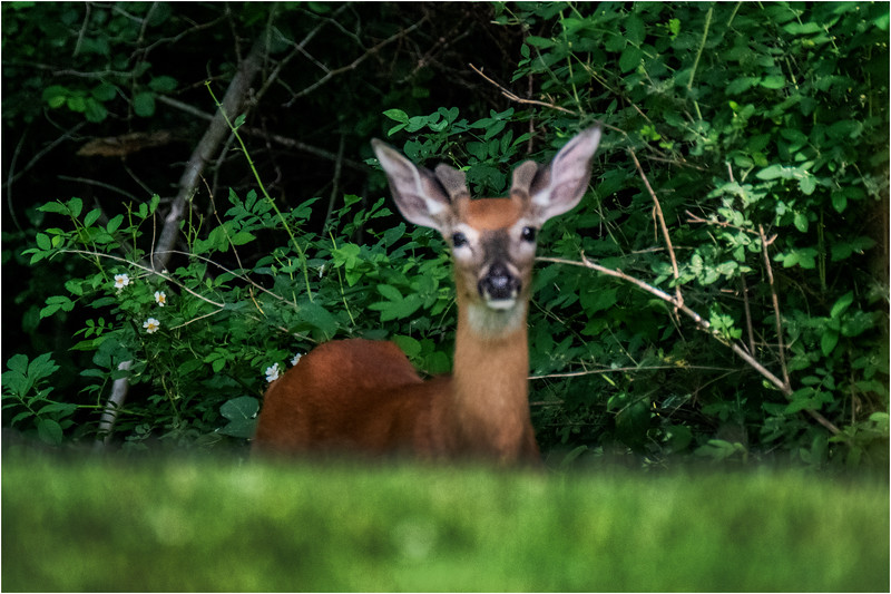 Delmar NY Young Buck 1 June 2018