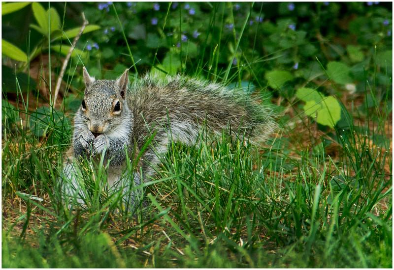 Delmar NY Backyard Grey Squirrel 2 May 2016