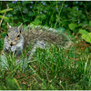 Delmar NY Backyard Grey Squirrel 2 May 2016