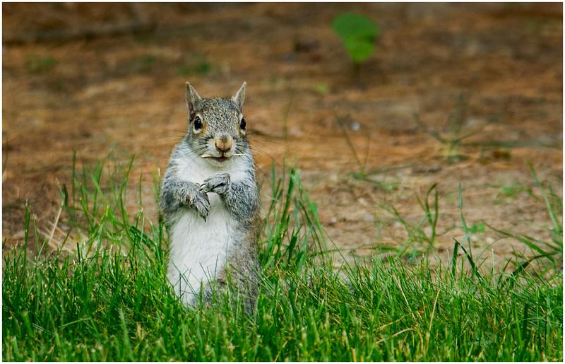Delmar NY Backyard Grey Squirrel 1 May 2016