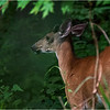 Delmar NY Young Buck 2 June 2018