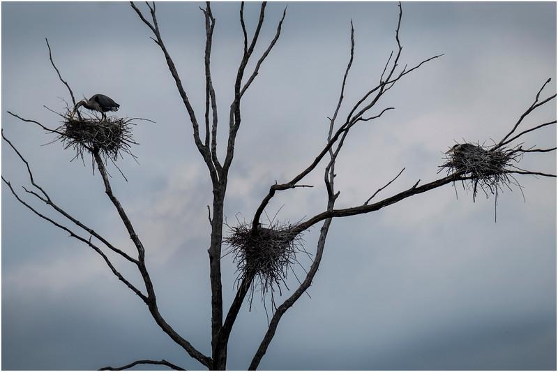 Ballston Lake NY Ballston Creek Nesting Herons 9 May 2018
