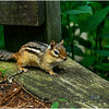 Delmar NY Backyard Chipmunk 2 May 2016