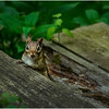 Delmar NY Backyard Chipmunk 3 May 2016