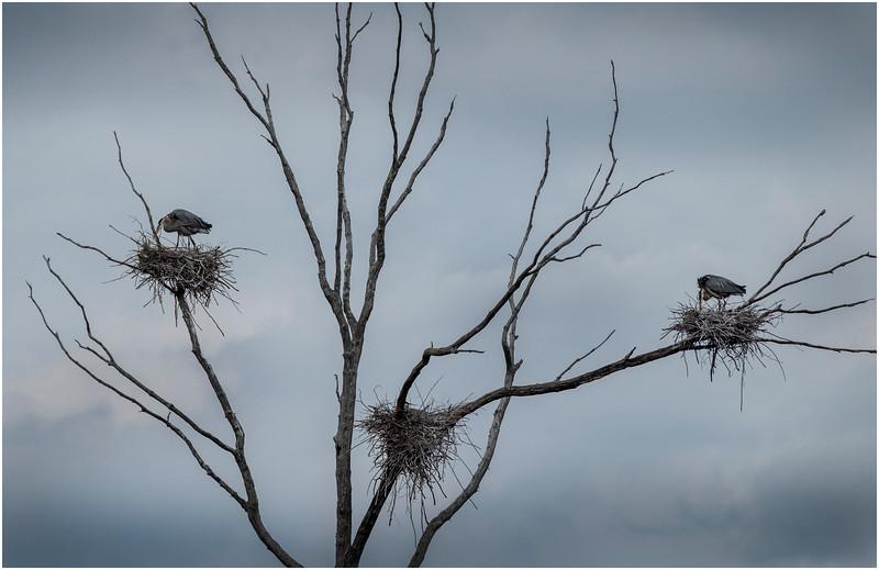 Ballston Lake NY Ballston Creek Nesting Herons 7 May 2018