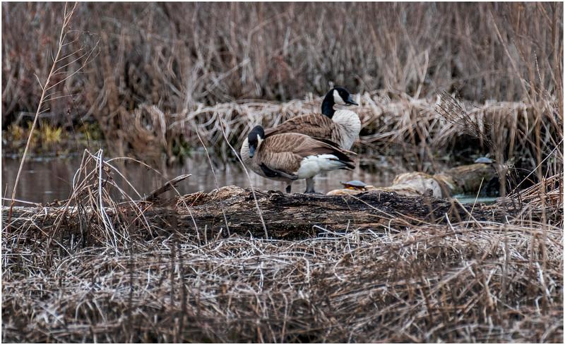 Ballston Lake NY Ballston Creek Canada Geese 1 May 2018