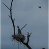 Ballston Lake NY Ballston Creek Nesting Herons 11 May 2018