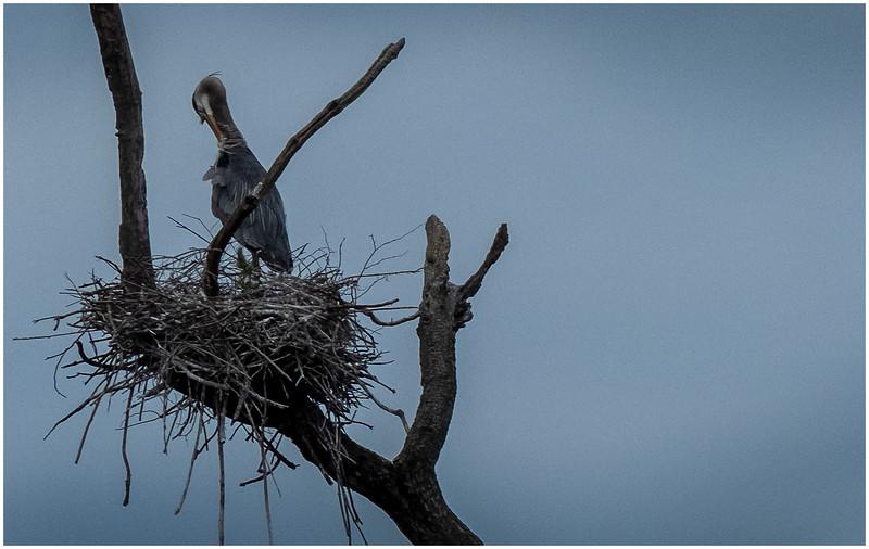 Ballston Lake NY Ballston Creek Nesting Herons 12 May 2018