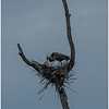 Ballston Lake NY Ballston Creek Nesting Herons 1 May 2018